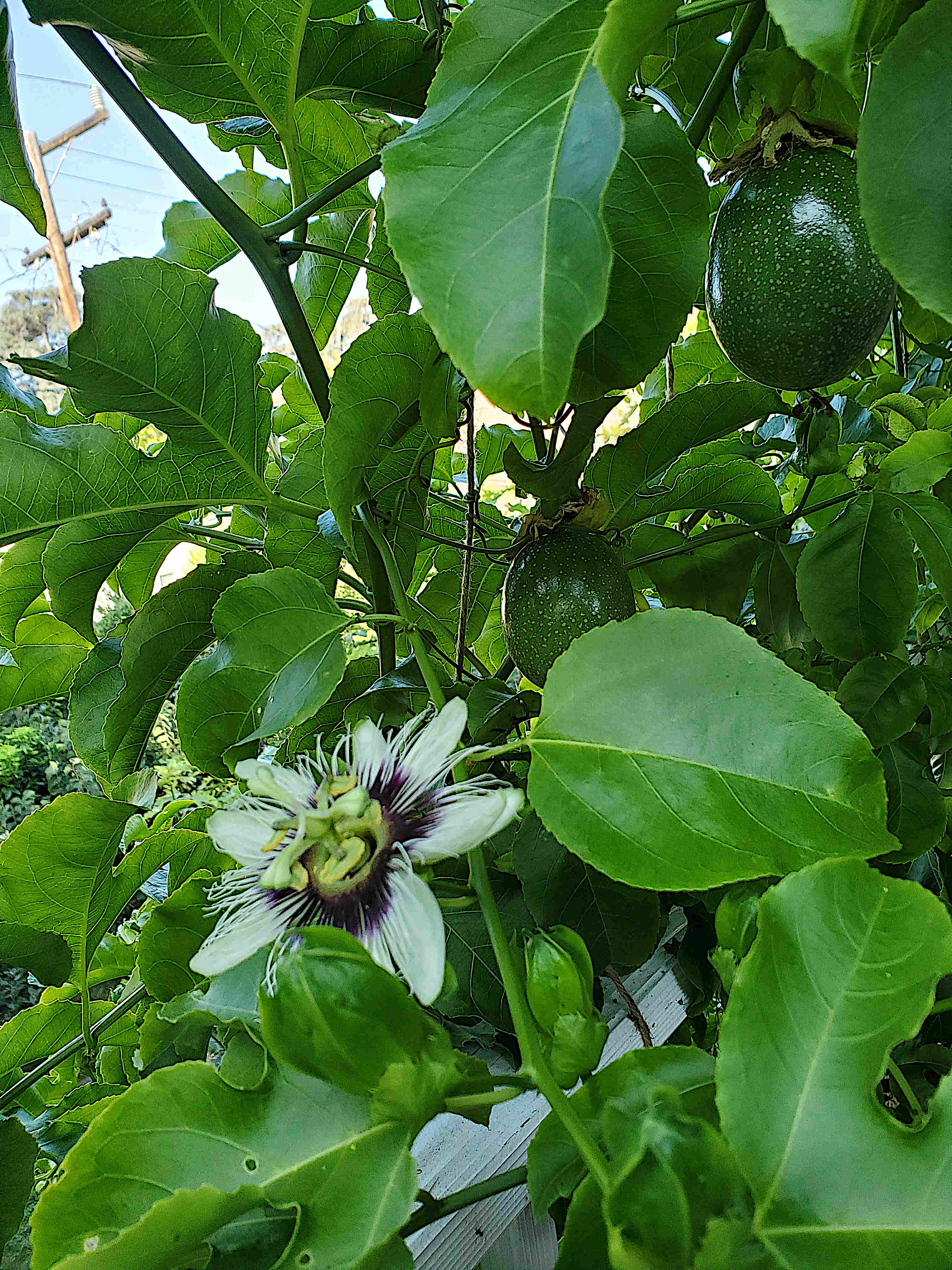 Pink Passion flower and fruit