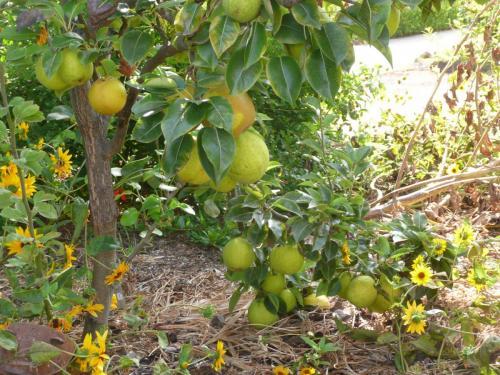 Hood pear