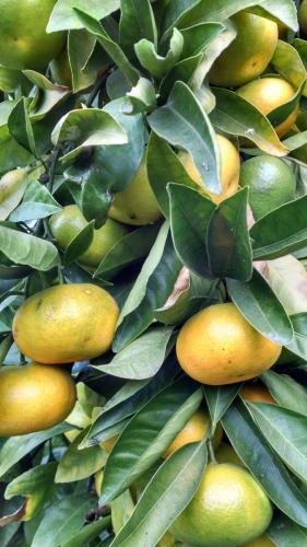 Satsuma tangerine